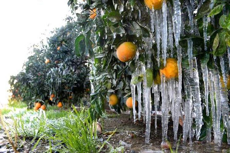 Helicopters Used to Benefit Orchard Frost Prevention